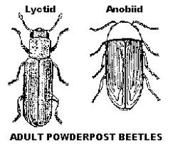Powder Post Beetles In Hardwood Floors - powderpost beetles entomology
