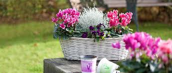 volmary fragrant garden cyclamen