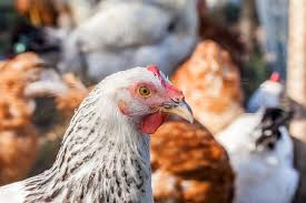 fall poultry event coming to cave creek area tractor supply