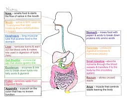 digestive system coloring page answers