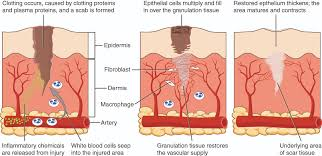 Anatomy And Physiology Cells And Tissues Tissue Injury And Aging Anatomy And Physiology