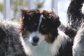australian shepherd swimming red rock knock your sox off first harmony farms