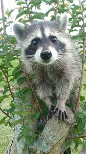 best 25 racoon ideas on pinterest raccoon like animal