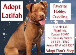 american pitbull terrier breeders st louis talking dogs at for love of a dog adopt latifah a labrador