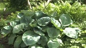 Shade Garden Vegetables by Plants That Grow Well In Shade Youtube