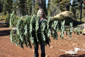 searching for silvertips the perfect christmas tree 94 7 the wave