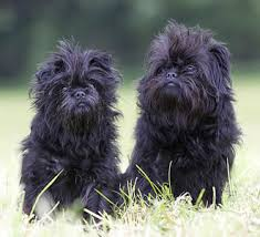 affenpinscher and chihuahua affenpinscher breeders breed clubs and rescue