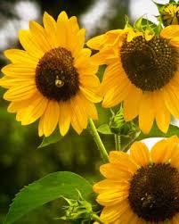 foto wallpaper bunga matahari iphone wallpapers reddit wallpaper sc desktop koenigsegg agera r