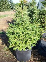 tree installation methods shade pine evergreen arbor hill tree farm