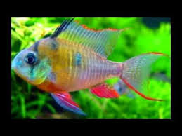 the coolest most badass freshwater aquarium fish out there