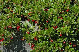 native utah plants kinnikinnick bearberry arctostaphylos uva ursi bushes and