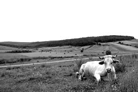 cow animal free image peakpx