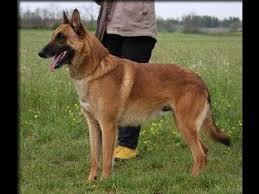 belgian sheepdog association belgian shepherd dogs attack youtube