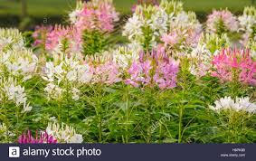 Cleome Flower - beautiful pink and white spider flower the scientific name