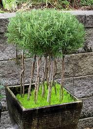 best 25 rosemary plant ideas on pinterest planting lavender