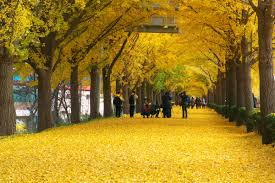 china s oldest resident the ginkgo tree china icons your