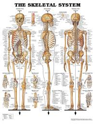 bones human body bones of the thoracic cage for ems human