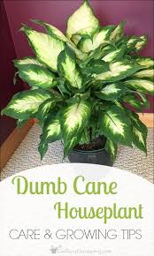 dumb cane houseplant dieffenbachia care and growing tips