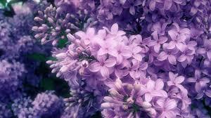 lilac flowers lilac flowers live hd lilac flowers wallpapers photos reuun