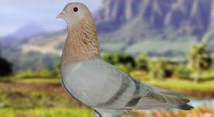 types of pigeon with pictures and names