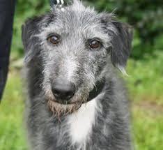 bedlington terrier stud whippet bedlington greyhound bedlington terrier cross terriers