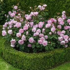 david austen roses in pots google search indoor gardening