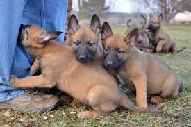 belgian shepherd for sale ireland belgian malinois puppies