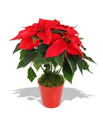 christmas plant poinsettia christmas plant flowers in delivery send
