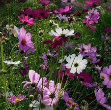 Cosmos Flower Essence - 114 best cosmos my favorite flower images on pinterest cosmos