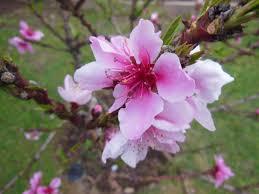 pretty blossom tree flower by cdkalos on deviantart