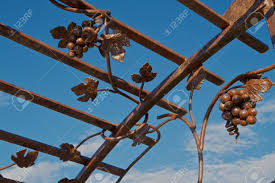 brown iron trellis with grape vine design against a blue sky