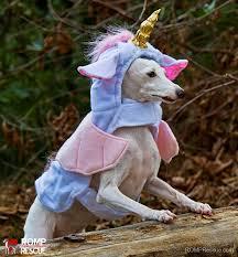 Italian Halloween Costume 38 Italian Greyhound Halloween Costumes Romp Italian Greyhound Rescue