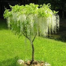 flowers seeds wisteria seed 10pcs bonsai wisteria tree indoor
