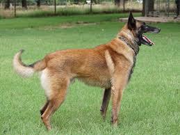 belgian sheepdog malinois micheal ferguson belgian malinois puppies for sale