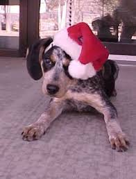 bluetick coonhound kennels in ga adopt lokie on bluetick coonhound animal shelter and animal