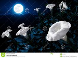moonflowers illuminated at night by a bright full blue moon