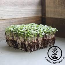sunflower microgreens seeds grow micro sunflower greens from seed