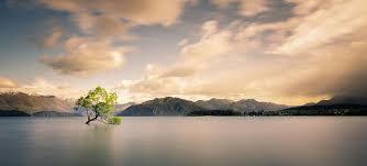 lone tree of lake wanaka wanaka zealand atlas obscura