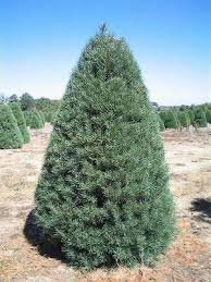 scotch pine christmas tree the christmas tree types in northwest arkansas