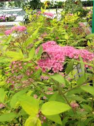native alaskan plants making a bee friendly garden in alaska alaska master gardener blog