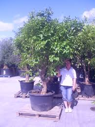 Patio Fruit Trees Uk by Welcome To Seagrave Nurseries