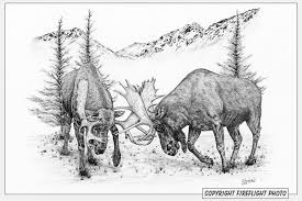 fireflight photo bull moose fighting pen and ink drawing