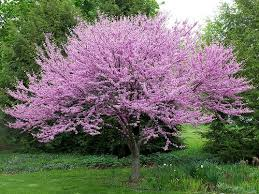 Tree With Purple Flowers Best 25 Trees With Purple Flowers Ideas On Pinterest Plants