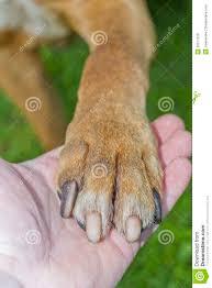 american pitbull terrier webbed feet american pitbull terrier royalty free stock photos image 26377528