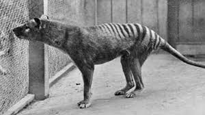 imagenes animales australia vuelve el tigre de tasmania avistan en australia al animal extinto