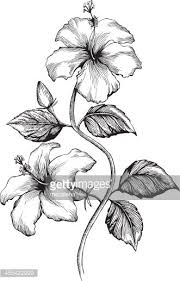 drawn hibiscus flower leave pencil and in color drawn hibiscus