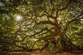 oak tree wallpapers ozon4life