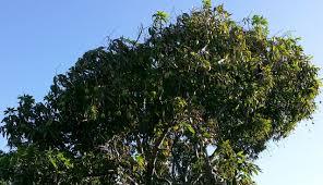 100 how long mango tree bear fruit how to grow a mango tree