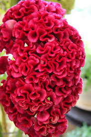 coxcomb flower not a coral but a flower celosia in its coxcomb form a z