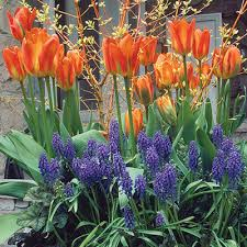 Ideas For Daffodil Varieties Design Planting Spring Bulbs In Containers Fine Gardening